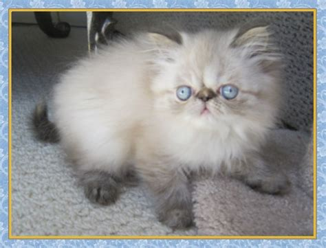 blue kittens for sale himalayan kittens for sale new jersey blue point one