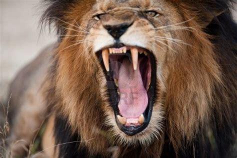 imagenes de los leones del escogido angry roaring lion hd wallpaper animals wallpapers