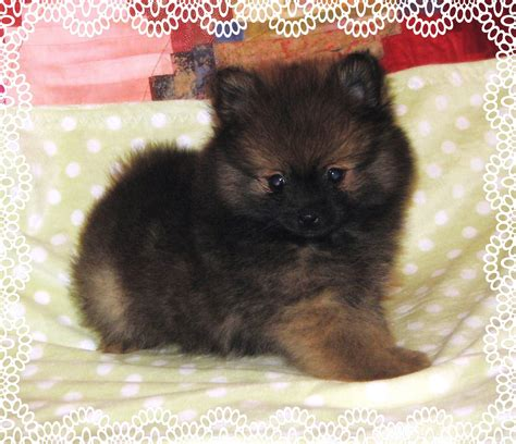 adopt a teacup pomeranian teacup pomeranian puppies for adoption picture to pin on thepinsta