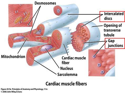 cardiac cell diagram desmosomes cardiac search school board