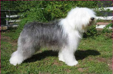 white fluffy big big white fluffy breeds simple image gallery