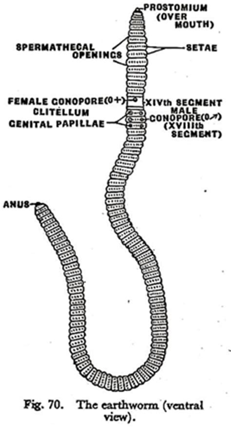 anatomy of earthworm with diagram zoology