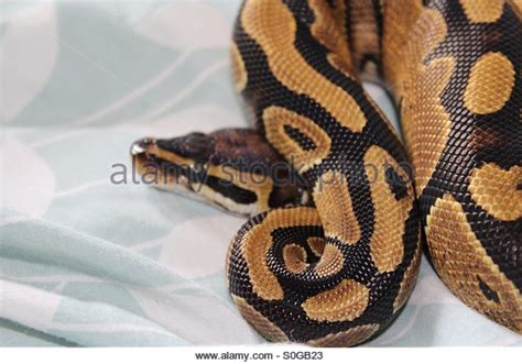 ball python bedding residing stock photos residing stock images alamy