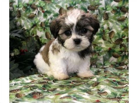shih tzu teddy mix to find out puppys and for sale on