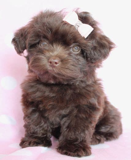 chocolate yorkie poo for sale 1000 ideas about maltipoo puppies for sale on teacup maltipoo maltipoo