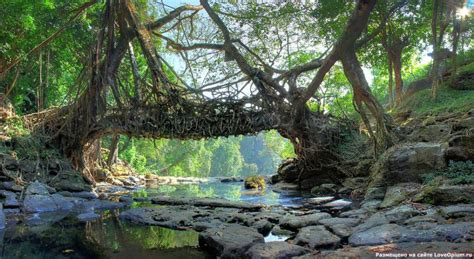 what is root bridge root bridges of cherrapunji