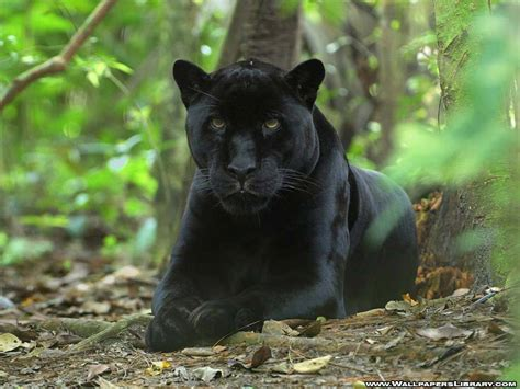 black panther the of animals