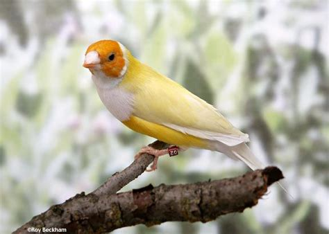 yellow gouldian finch read quot an insight into the history