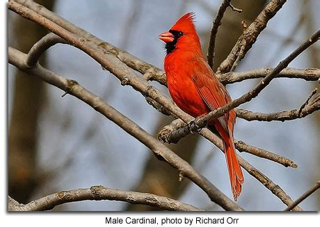 northern cardinal maryland s wild acres