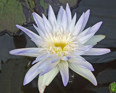 aquatic plant  international waterlily water
