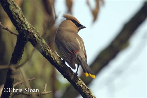 tennessee watchable wildlife cedar waxwing habitat