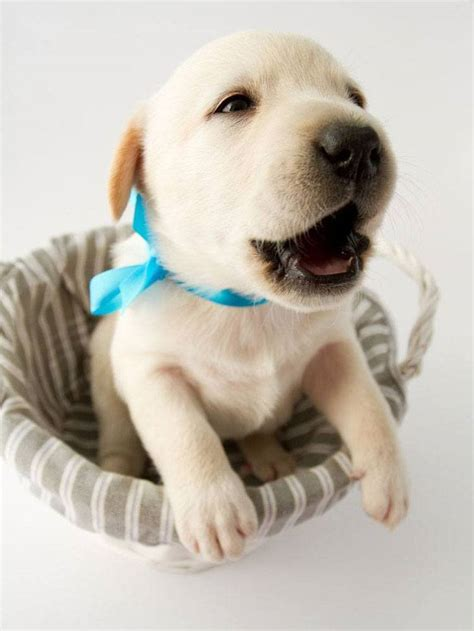 yellow lab puppy names lab names gallery