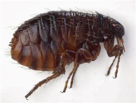 getting rid of fleas in house how to get rid of fleas in the house