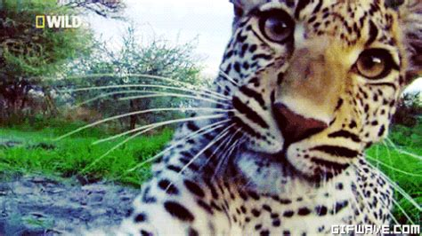 jaguar gifs find on giphy