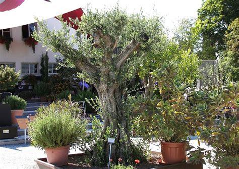 olivenbaum im garten mediterrane gartengestaltung olivenbaum vor mediterraner