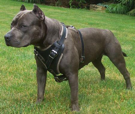 Best Pit Black Pitbull Harness Best Custom Pitbull Harness