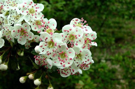 biancospino fiori biancospino foto immagini piante fiori e funghi