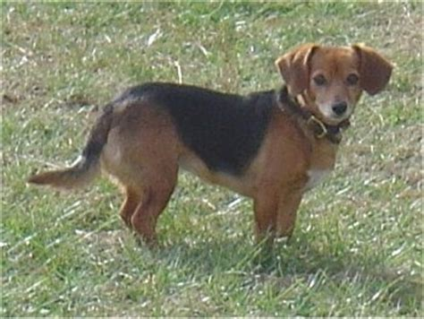 beagle weiner mix doxle breed information and pictures