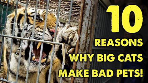 can i buy a house with bad credit how can i buy a house with bad credit 10 reasons why big cats make bad pets