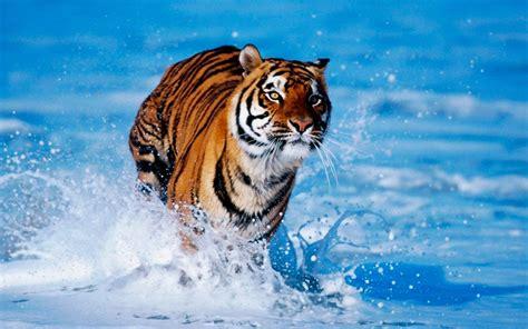 imagenes de tigres cool galer 237 a de im 225 genes im 225 genes de tigres