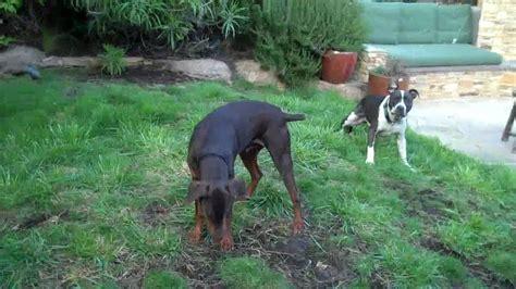 doberman pitbull puppies pit bull vs doberman