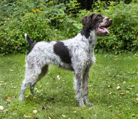 wirehaired pointer puppy german wirehaired pointer breed information buying advice photos and facts