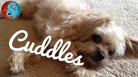why is my yorkie shaking yorkie poo named cuddles