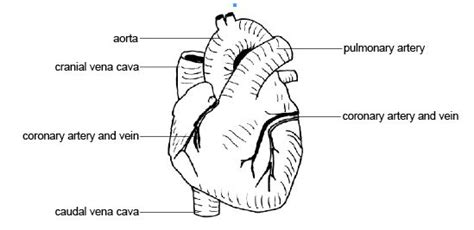 anatomy and physiology coloring book cardiovascular system answers free coloring pages of blood flow