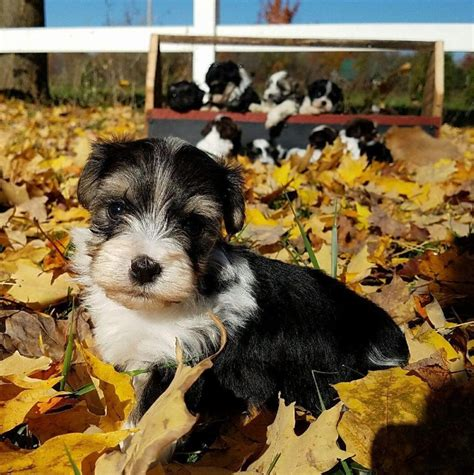 heavenly puppies havanese puppies heavenly havanese imlay city michigan