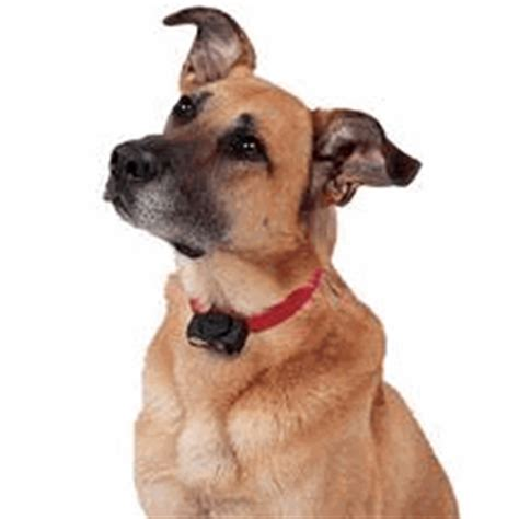perimeter shock collars for dogs evidence suggests quot shock quot collars should be avoided web dvm