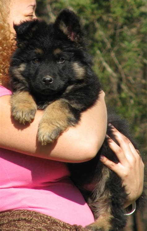 black haired german shepherd puppies for sale coat german shepherd puppy for sale coat german shepherd puppies for sale