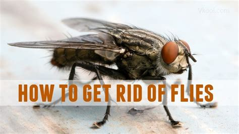 get rid of house flies 23 ways on how to get rid of flies naturally in house