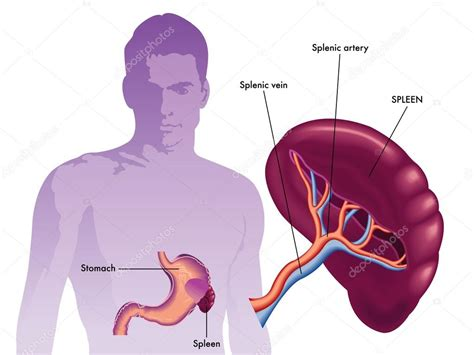 diagram of spleen spleen labeled diagram stock vector 169 rob3000 65093215
