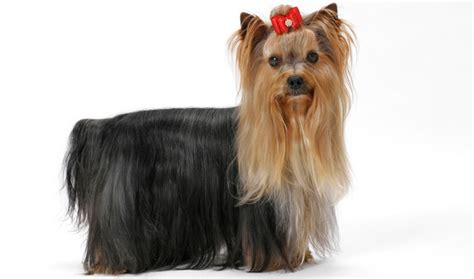 yorkies breed terrier breed information