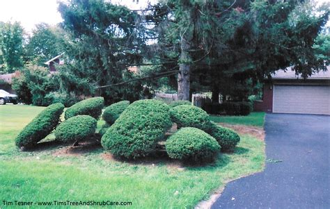 topiary tree care topiary tree care image mag
