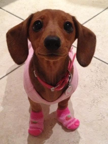 baby dachshund puppies 25 best ideas about baby dachshund on baby dogs adorable puppies