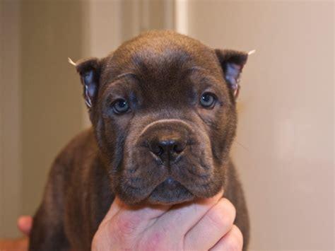 corso puppies for sale in va corso puppies for sale ready now oakton va patch