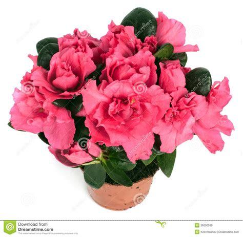 rosa in vaso primula rosa in vaso da fiori immagine stock immagine