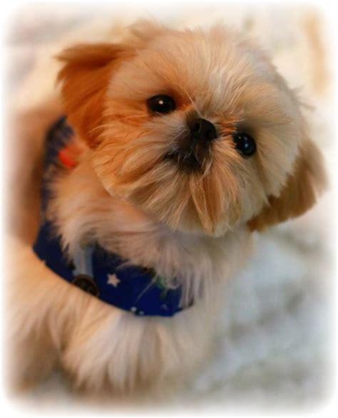 shih tzu puppies for sale in mobile al imperial shih tzu puppies imperial shih tzu puppies for sale imperial shih tzu