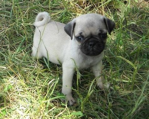 pug breeders adelaide pug puppies for sale adelaide dogs for sale puppies for sale adelaide 290432