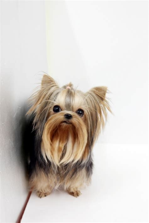 yorkie website 25 best ideas about teacup yorkie price on