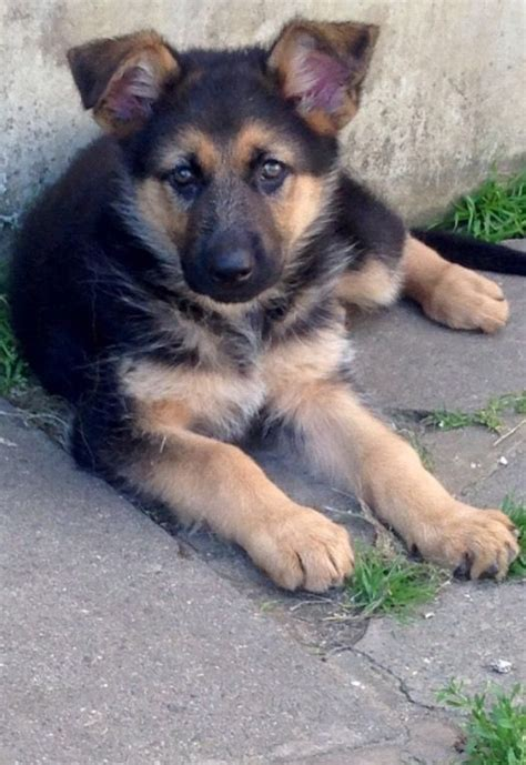 8 week german shepherd puppy 8 week german shepherd puppy south east pets4homes