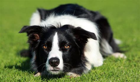 Border Collie Also Search For Category Border Collie Rapidfire Border Collies
