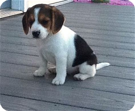 shelters in michigan giggles adopted puppy kalamazoo mi beagle mix