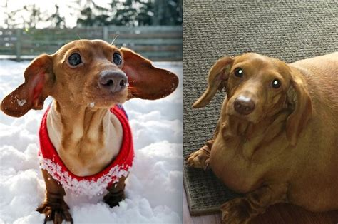 obese dachshund lost  pounds  giving  burgers