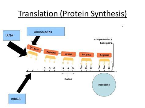 transcription translation ocr as a level biology by