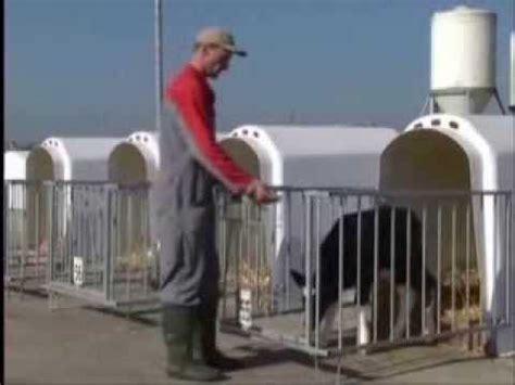 gabbie per vitelli arienti calf o tel gabbiette per vitelli
