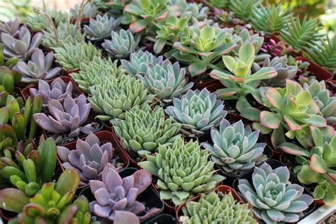 the rise of the succulent plants engledow group