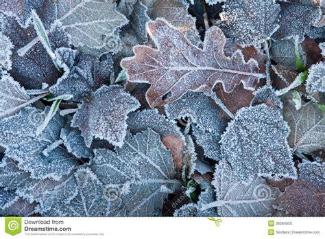 frozen leaves wallpaper frozen leaves best wallpaper hd