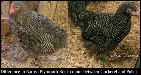 sight sexing barred plymouth rock chicks  hatch page